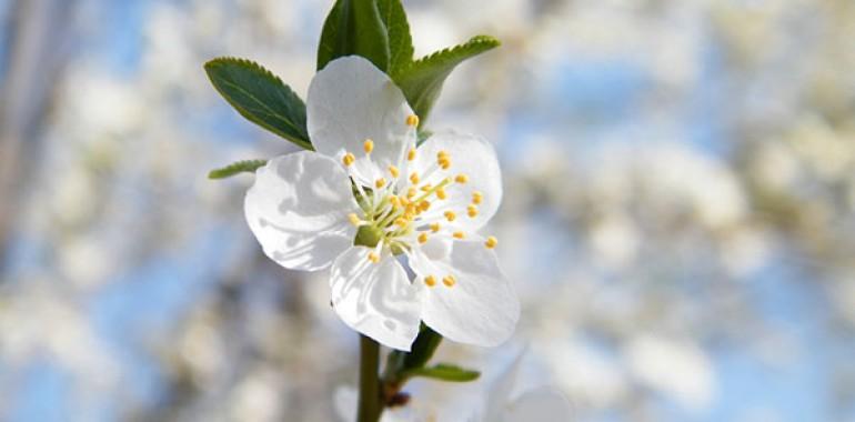 Češnjelika sliva - Cherry plum (Prunus cerasifera)