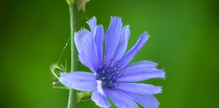 Cikorija - Cicory (Cichorium intybus)