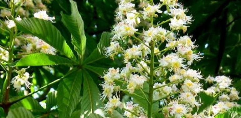 Cvetni popek divjega kostanja (Aesculus hippocastanum)