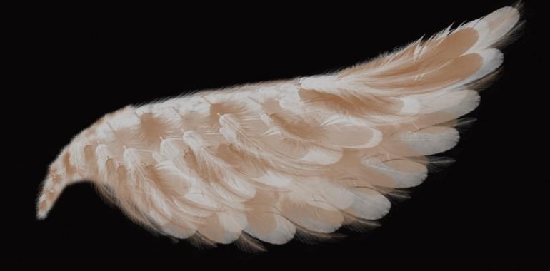 Angeli niso kokoši
