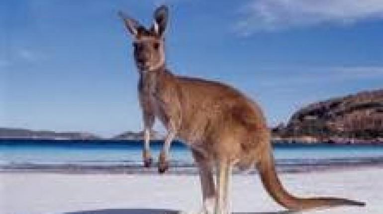 Živalski vodnik - kenguru