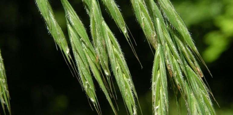 Divji oves (Bromus ramosus)
