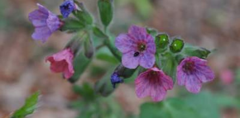 Pljučnik (Pulmonaria officinalis)