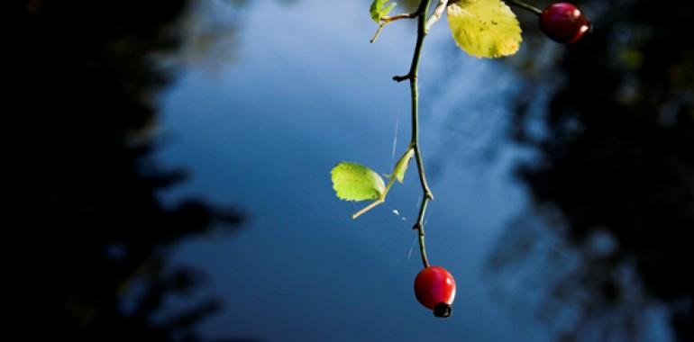 Divja vrtnica, šipek - Wild rose(Rosa Canina)