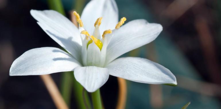 Betlehemska zvezda - Star of Betlehem (Ornithogalum umbellatum)